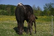 konie huculskie bieszczady.jpg